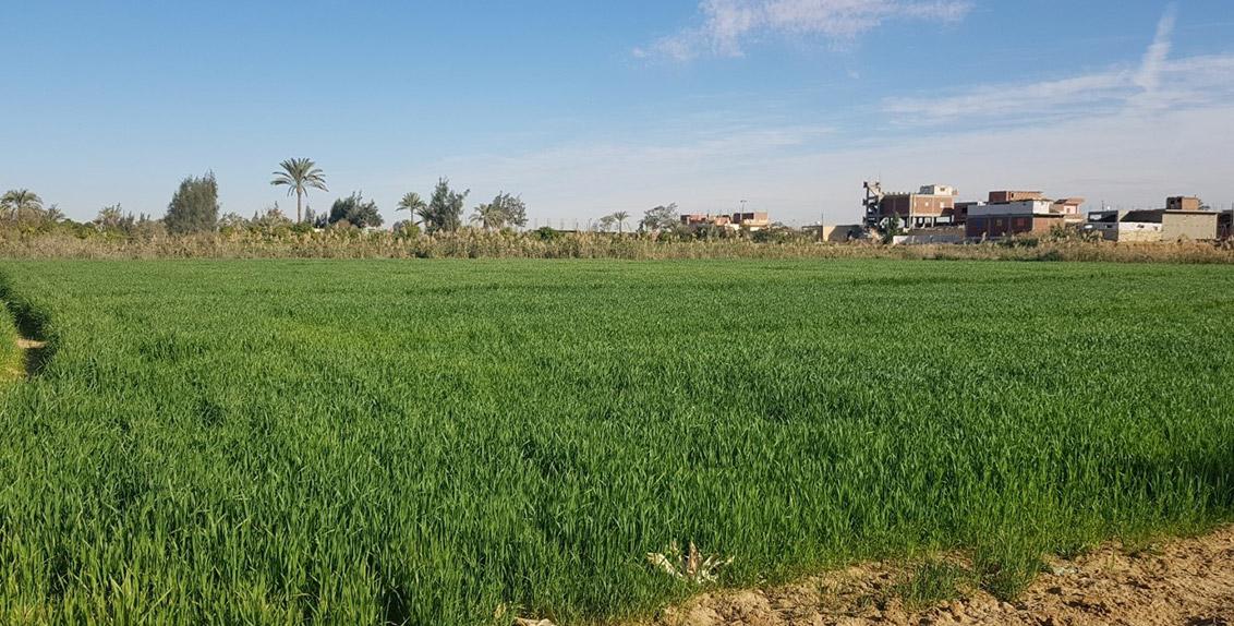 A barley field in Suez.