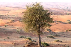 Ghaf (Prosopis cineraria), a flowering tree, holds great promise for combating desertification and improving soil fertility in arid environments thanks to its unique qualities, long-term research by the International Center for Biosaline Agriculture (ICBA) suggests.