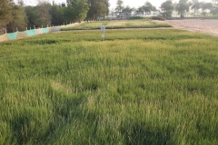 One way that has been proven to hold a lot of promise is cultivation of halophytic, or salt-loving, plants. Published recently in Crop & Pasture Science, a three-year study by a team of scientists at ICBA suggests that halophytic grasses, for example, can be a good option for forage production and rehabilitation of salt-affected lands in the UAE. What is more, they produce higher yields than some traditional grasses like Rhodes grass (Chloris gayana).